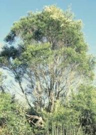 Tea Tree BIO - melaleuca alternifolia