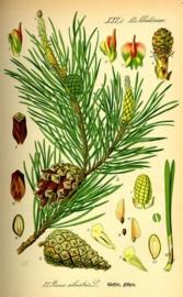 Den, Grove BIO - pinus sylvestrus