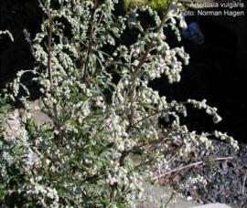 Bijvoet - artemisia herba alba/ annua