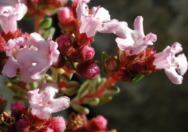 ZwarteTijm  BIO - thymus zygis ct paracymene
