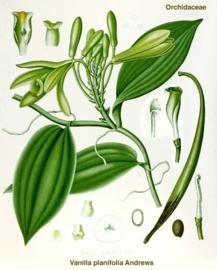 Vanille (vetoplosbaar) - vanilla planifolia