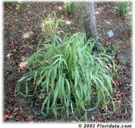 Citronella Java BIO - cymbopogon winterianus