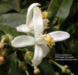 Neroli - citrus aurantium ssp amara