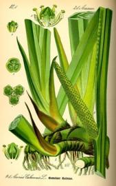 Kalmoes - acorus calamus
