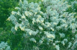 Bijvoet, Blauwe - Artemisia arborescens