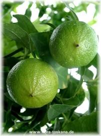 Bergamotschil BIO - citrus aurantium ssp bergamia