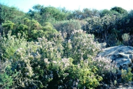 Rozemarijn ct verbenone BIO - rosmarinus officinalis
