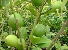 Limoenblad - citrus aurantifolia