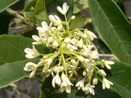Osmanthus fragrans absolue