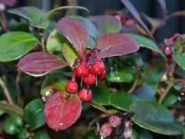 Wintergreen BIO - gaultheria procumbens