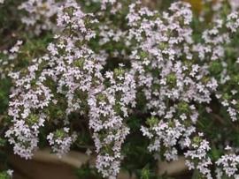 Tijm, Witte BIO - thymus vulgaris ct thuyanol