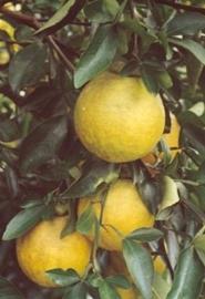 Pompelmoes BIO - citrus paradisi