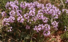 Marokkaanse Tijm BIO - thymus satureoides