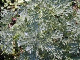Alsem - artemisia absinthium