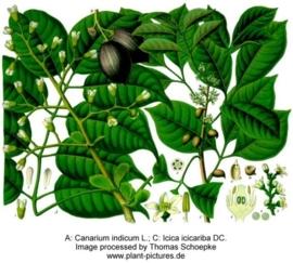 Manilla elemi - canarium luzonicum