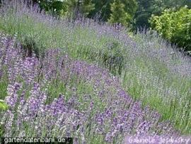 Lavendel off. BIO - lavende angustifolia