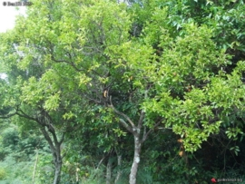 Sandelhout, Nieuw Caledonisch - santalum austrocaledonicum