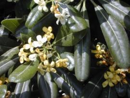 Petitgrain BIO - citrus aurantium ssp amara var pumilia