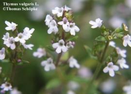 Witte Tijm BIO - thymus vulgaris ct thuyanol