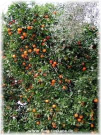 Sinaasappelblad BIO - citrus aurantium ssp amara var pumilia