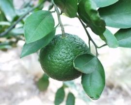 Mandarijnschil, Groene BIO - citrus reticulata var mandarina