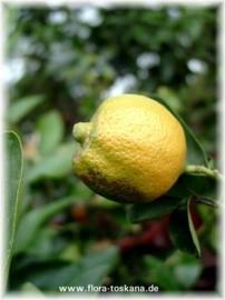 Limoenschil geperst BIO - citrus aurantifolia