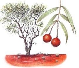 Australisch Sandelhout BIO - santalum spicatum