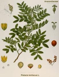 Mastix BIO - pistachia lentiscus