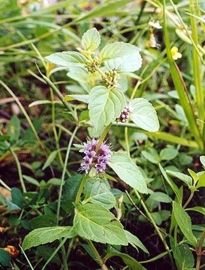 Munt, Japanse BIO - mentha arvensis