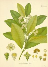 Piment - pimenta dioica