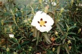 Zonneroosje BIO - cistus ladaniferus