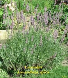 Spijk Lavendel BIO - lavandula latifolia/ aspic