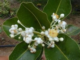 Calophyllum Olie