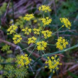 Venkel BIO - foeniculum vulgaris