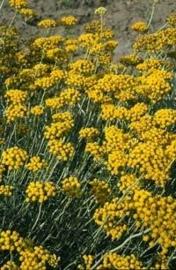 Strobloem ( Helichrisum italicum ssp serotinum ) Hydrolaat BIO