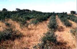 Eucalyptus polybractea ct crypton