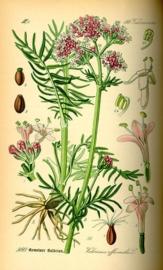 Valeriaan - valeriana officinalis