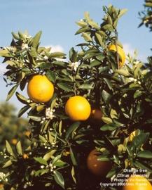 Sinaasappel, Zoete  BIO - citrus cinesis