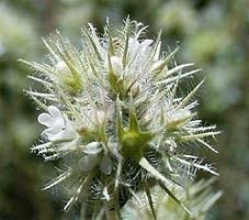 Spaanse Marjolein BIO - thymus mastichina