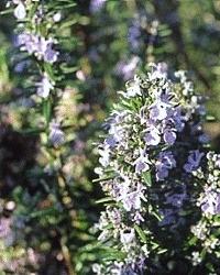 Rozemarijn ct 1,8-cineol BIO - rosmarinus officinalis