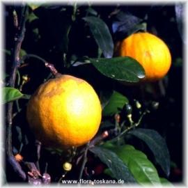 Bergamotschil FCF BIO - citrus aurantium ssp bergamia