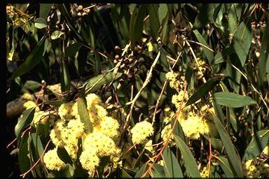 Eucalyptus dives ct piperiton