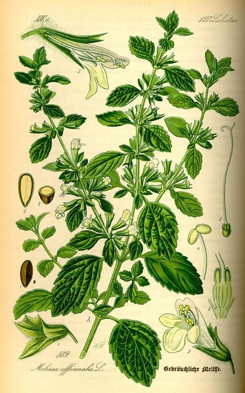 Melisse officinalis BIO (synergisch destillaat)