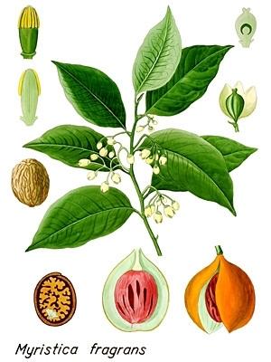 Nootmuskaat- myristica fragrans