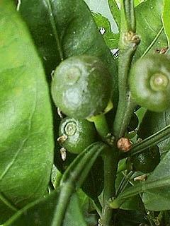 Groene Mandarijnschil BIO - citrus reticulata var mandarina