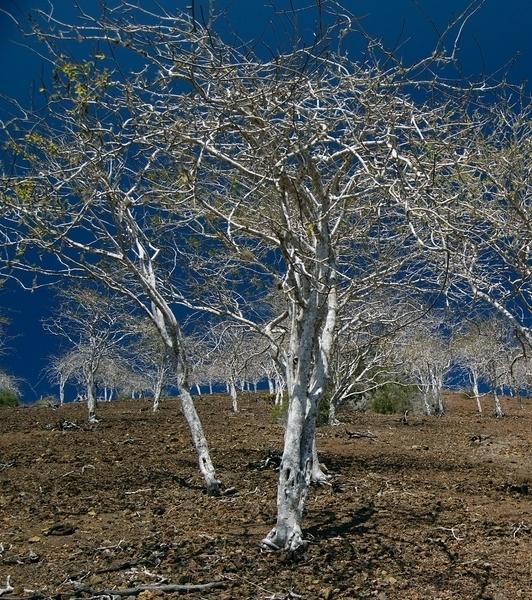 Palo Santo - bursurea graveolens - MOMENTEEL NIET LEVERBAAR