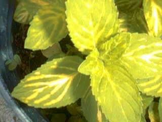 Groene Munt - mentha viridis