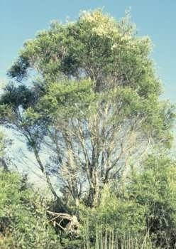 Tea Tree BIO - melaleuca alternifolia
