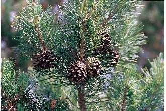 Grove Den BIO - pinus sylvestrus