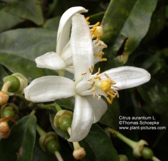 Oranjebloesem - citrus aurantium ssp amara